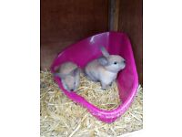 2 lovely baby bunnies for sale mum and dad can both be seen