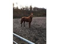 16.1hh ex racehorse 8 years old