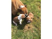 English bulldogs puppies for sale