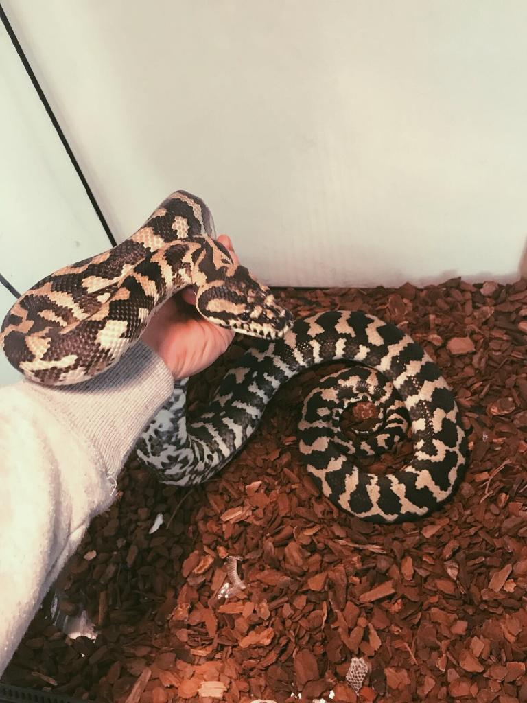 Iran java carpet python