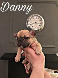 ** lilac producing show quality French bulldog puppies**
