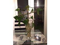 Devil's Ivy in Vase
