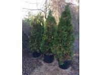 Italian conifer tree(s)