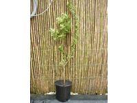 1 hardy evergreen shrub,19 inches high