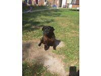 Pugshire puppy