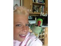 MISSING!!! 10 year old Alexandrine parrot