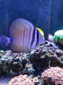 Sailfin Mandarin Clownfish