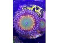 Zoas,corals,marine