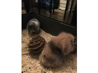 2 male rabbits and accessories