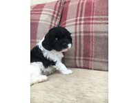 Beautiful cavapoo puppies for sale - Boys & Girls