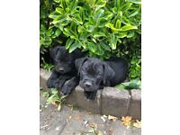 Cane Corso Puppy Ready Now 3 Left