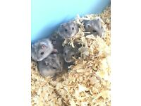 Five dwarf hamsters for sale