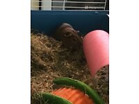 2 male guinea pigs 4months old with cage