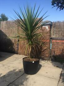 Large garden plant in pot