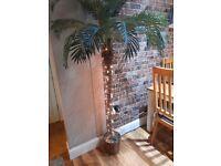 Indoof palm tree