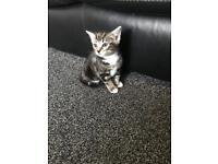 Tabby Kitten PLEASE READ THE FULL DESCRIPTION