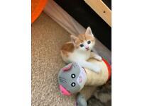 Fluffy female kittens
