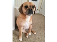 Two year old puggle for sale