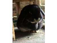 Male and female rabbits free to a good home