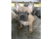 French Bulldog Puppies for sale (4 males)