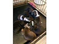 Victorian bulldog x Staffordshire bull terrier puppies
