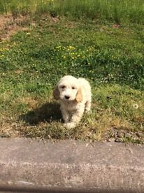 Nice friendly pups for sale cockapoo lovely pet