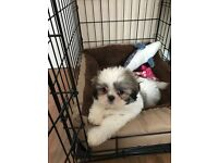 10 week old shih tzu puppy