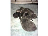 Kittens ALL GREY RESERVERD