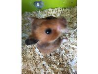 Stunning female Syrian hamster RARE COLOURING