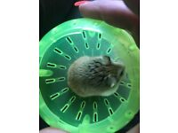 2x female hamsters 6 month old with full set up and extras. Lovely temperament