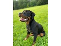 Male Rottweiler 9 Months