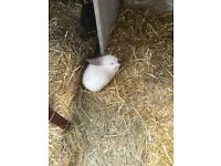 2 lovely male rabbits for sale £10 each