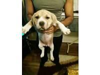 American bulldog x puppies