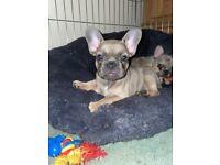 French bulldog puppies KC