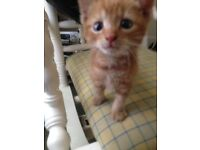 Kitten 12 weeks old male