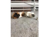 Guninea pigs