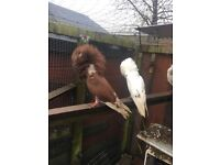 Roller pigeon s and jacobin fancy clean healthy bird s fancy pair £60 roller £20 a pair