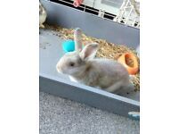 Netherland dwarf cross lop rabbit
