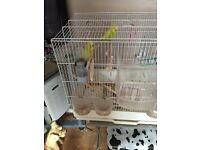 2 x budgies for sale.