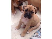 Bullmastiff x dogue de bordeux puppys