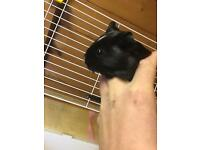 Female baby guinea pig for sale