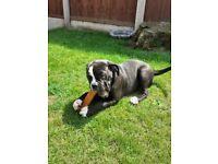 female old tyme bulldog