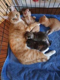 2 Beautiful Ginger Male Kittens.