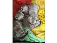 3 beautiful snow Bengal kittens