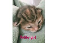 Stunning Maine coon cross kittens, rare dilute calico