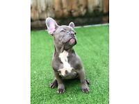 Lilac French bulldog female puppy