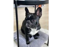 Loving frenchie looking for a new home