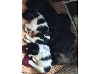 Newfoundland x Saint Bernard Puppies x6