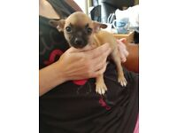 Chihuahua puppy for new home