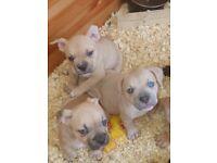 American Bully Pocket Puppies